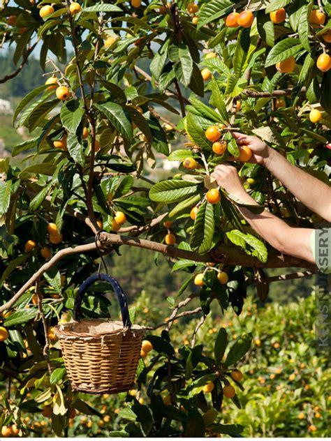 japanese plum tree fruit high yield japanese plum tree eribotrya loquat kens nursery