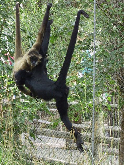 animals that swing from trees spider monkey utah s hogle zoo