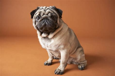 how are pugs preferred food for pugs pets