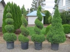 pruning can i trim this shrub into a spiral shape