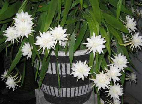 jual bibit bunga wijaya kusuma putih  lapak benih kita