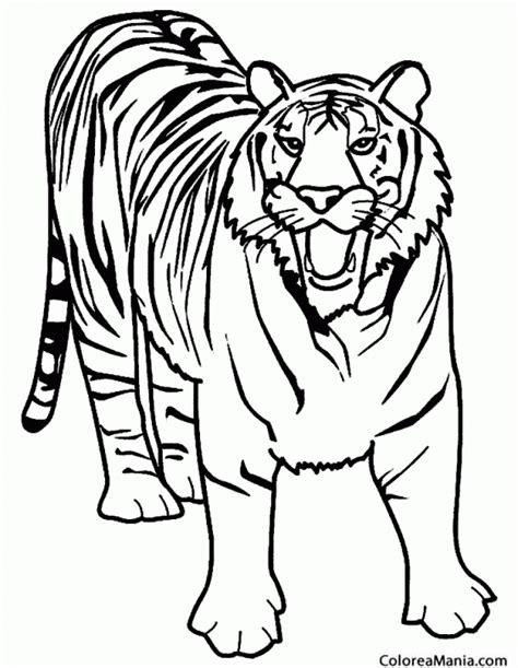 imagenes de animales de la selva para imprimir colorear tigre furioso animales de la selva dibujo para