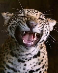 Jaguar Cousin 596 Best Images About Lions Cousins On