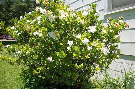 Adobe Style House Gardenia Bush 2 Flickr Photo Sharing