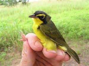 Backyard Bird Center Bird Banding At Important Bird Areas In Georgia Oconee