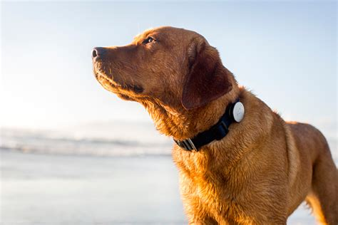 fitbit for dogs whistle a fitbit for dogs acquires pet tracking company tagg the verge