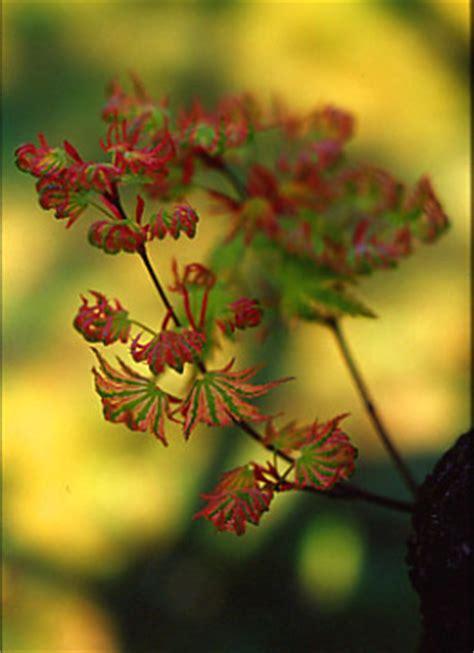 fiori di acero acero con fiori forum di giardinaggio it