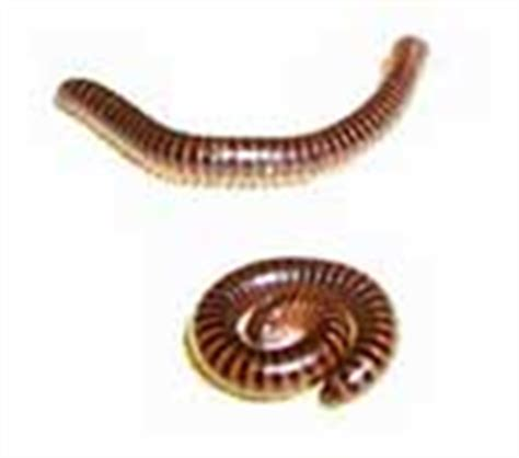 tiny centipedes in house samoa guide 31 bugs in your house