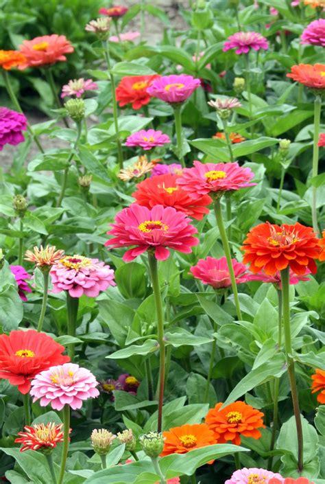 Madelief Garden Of The Year Zinnias Flower Garden
