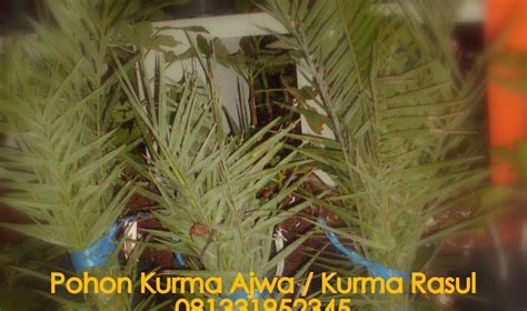 Bibit Buah Tin Lazada pohon kurma ajwa untuk tanaman hias halaman anda pohon