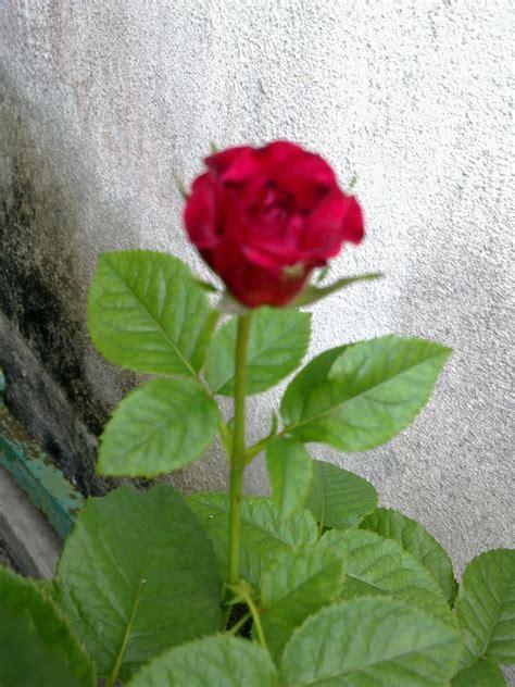 tattoo bunga mawar tattoo akar bunga mawar