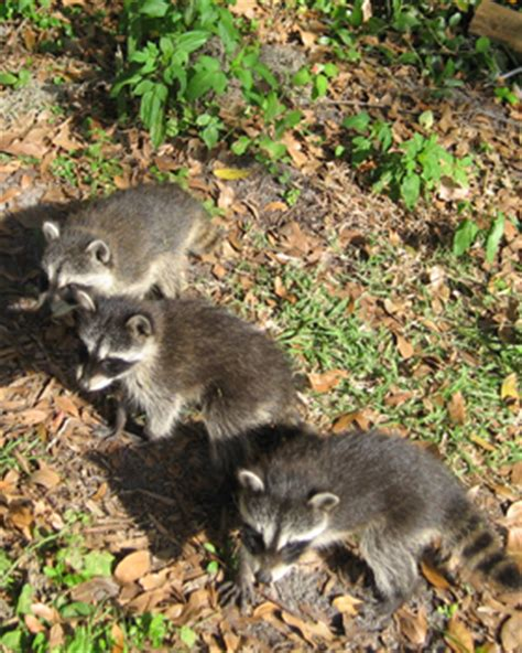 education  raccoon biology diet habitat mating habits humane raccoon removal