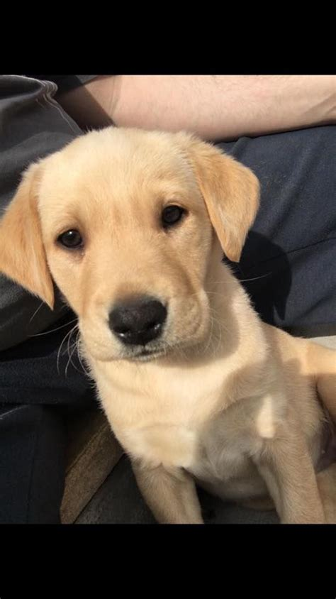 golden retriever birmingham golden labrador puppy birmingham west midlands pets4homes