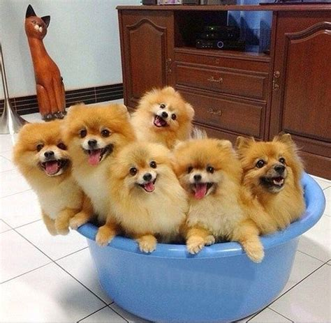 pomeranians heaven 129 best images about my gizmo my lil of fur on teacup