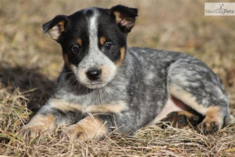 blue heeler dogs corgi blue heeler mix breeds picture