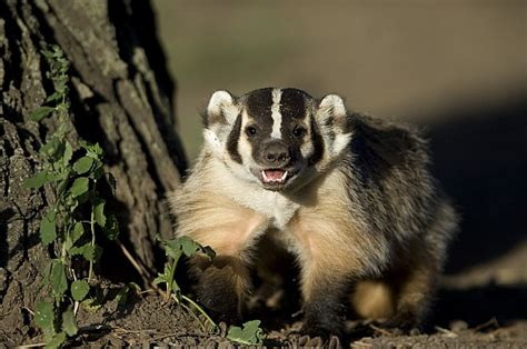 a raised badger at the home by joel sartore