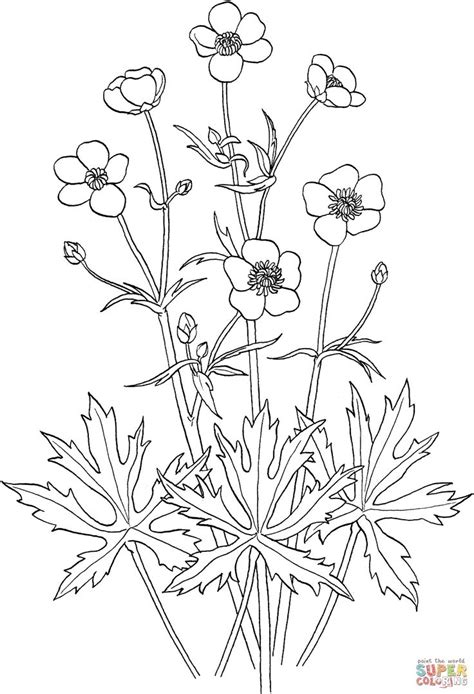 ranunculus acris or tall buttercup coloring page
