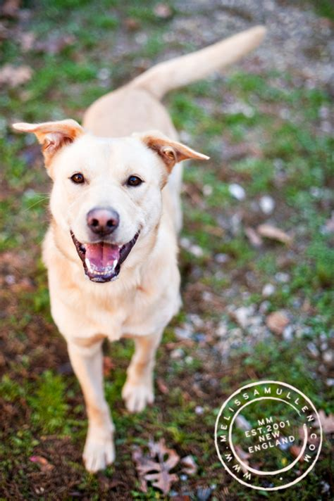 puppy adoption maine dogs available to adopt at aws in kennebunk maine