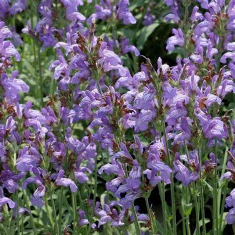 salvia in vaso salvia lavandulifolia vaso 216 18cm vendita piante