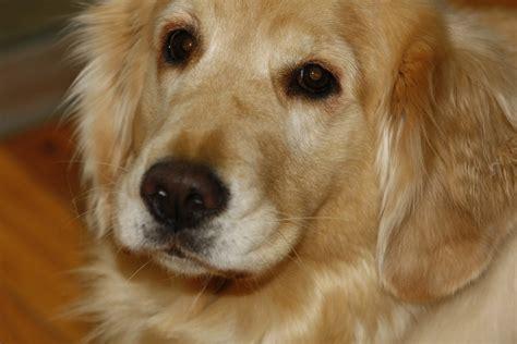 golden retriever breeders delaware delaware state golden retriever