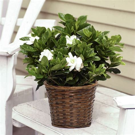 fragrant gardenia  woven basket flowering plants
