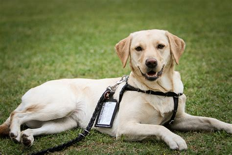 diabetic service dogs cost professional hockey player and his service the bark