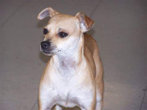 puppy mix italian greyhuahua italian greyhound chihuahua mix info puppies pictures