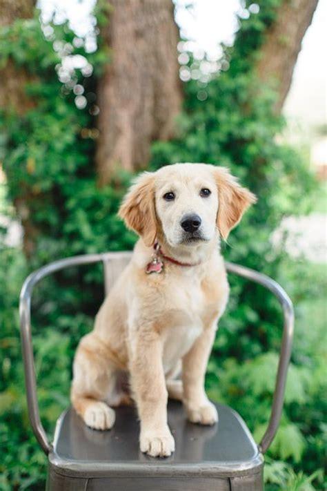 15 week golden retriever 15 week golden retriever puppy golden retrievers