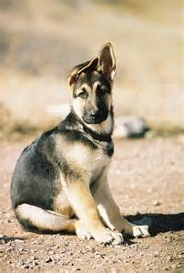 german shepherd puppy ears jpg