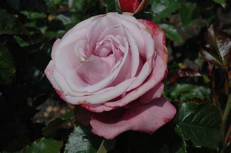 barbra streisand the rose barbra streisand rose rosa wekquaneze in longview