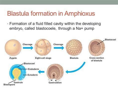 blastula diagram cleavage blastula gastrula neurula ppt