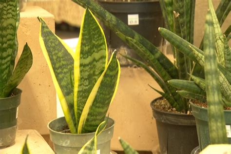 plants  purify  home pull toxins    air   news