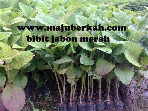 Bibit Pinang biji tanaman buah unggul tanaman buah buahan unggul jual