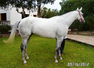 caballo cuarto de milla caballo moro cuarto de milla caballos