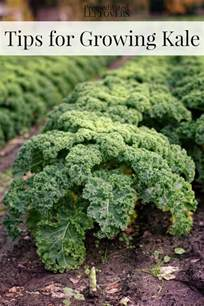 tips for growing kale in your garden