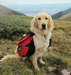 golden retriever rescue rockies 1000 images about rescue calendars on
