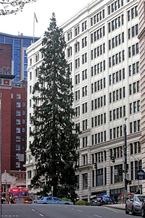 seattle tree climbs downtown seattle tree creates hourslong