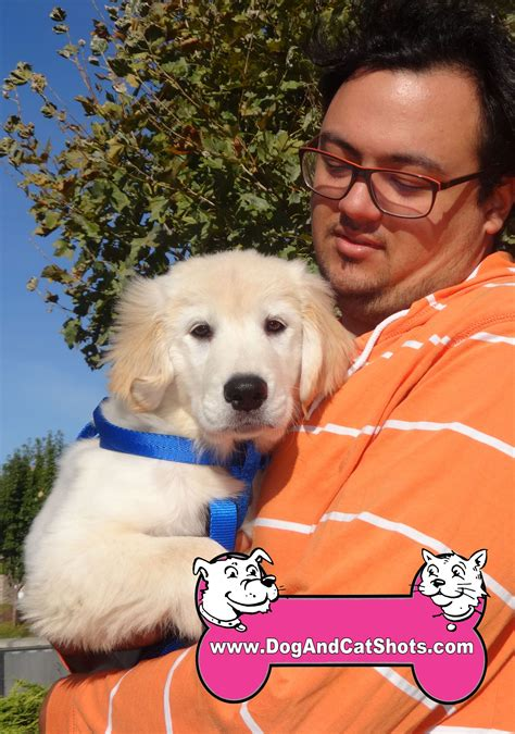 golden retriever puppies sacramento area low cost and cat in northern california rayleigh the golden retreiver puppy visited us in american low cost and cat
