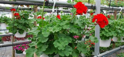 imagenes de jardines con geranios c 243 mo cultivar geranios