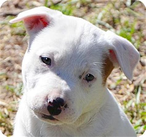 boxmas puppies for sale pictures of boxer akita mix breeds picture