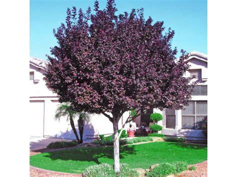purple leaf flowering plums elk grove ca patch