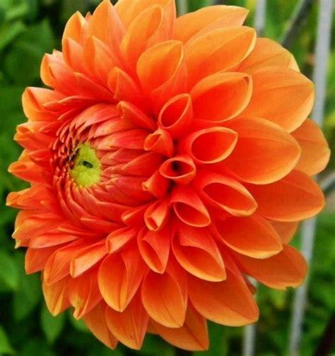 Garden And Gun Dahlias 335 Best Dahlia Images On Dahlias Flowers