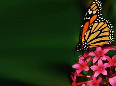 farfalla fiore farfalla wallpaperart