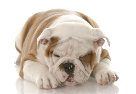 puppy bloat symptoms bloat symptoms and treatment