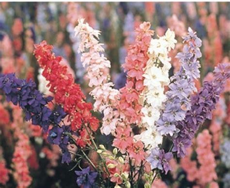 Benih Biji Bunga Badut Putih Biru benih larkspur sublime formula mix jual tanaman hias