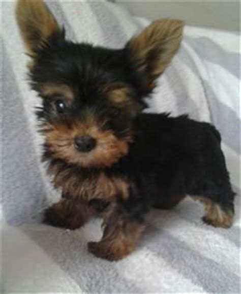 2 month yorkie yorkie house terrier information