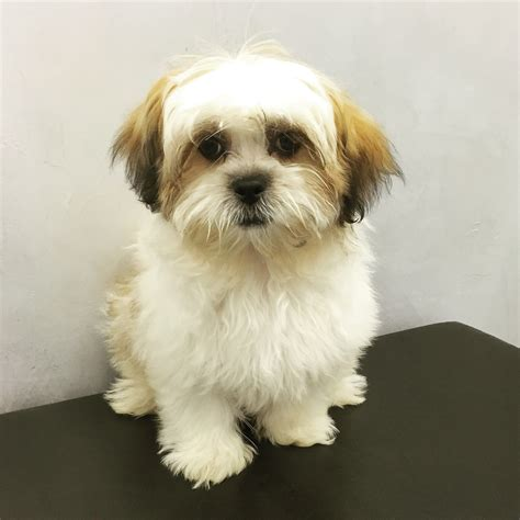 shih tzu puppies for sale in east shih tzu puppy for sale poochie couture