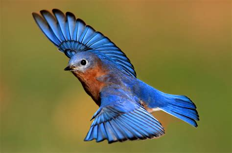 Blue Biru bluebird free gamefree