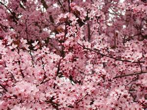 quot spring tree blossoms pink flowering trees art baslee