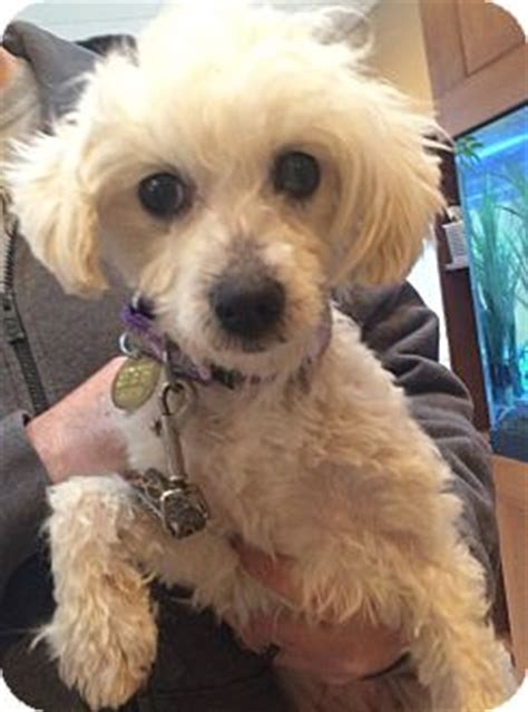 havanese nj henley adopted oak ridge nj havanese poodle miniature mix